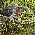 Green Heron And Catch by Cheryl Baxter
