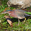 Green Heron by Anthony Mercieca