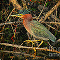 Green Heron Basking In Sunlight by Barbara Bowen