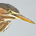 Green Heron Close-up by John Vose
