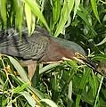 Green Heron by Dennis Sotolongo