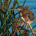 Green Heron Disguise by Photos By  Cassandra