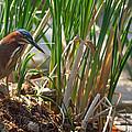 Green Heron Fishing by Kathleen Bishop