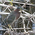 Green Heron In Everglades Np by Christiane Schulze Art And Photography