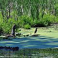 Green Heron by Larry Jones