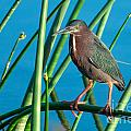 Green Heron On Reed by Photos By  Cassandra