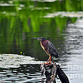 Green Heron Perch by Al Powell Photography USA