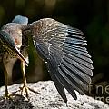 Green Heron Pictures 382 by World Wildlife Photography