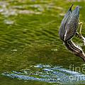 Green Heron Pictures 414 by World Wildlife Photography