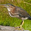Green Heron Pictures 449 by World Wildlife Photography