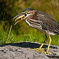Green Heron Pictures 457 by World Wildlife Photography