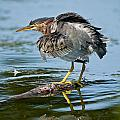 Green Heron Pictures 469 by World Wildlife Photography