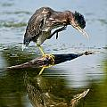 Green Heron Pictures 488 by World Wildlife Photography