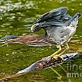 Green Heron Pictures 522 by World Wildlife Photography