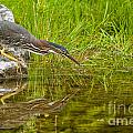 Green Heron Pictures 534 by World Wildlife Photography