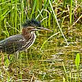 Green Heron Pictures 545 by World Wildlife Photography
