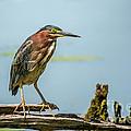 Green Heron Pose by Cheryl Baxter