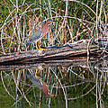 Green Heron Reflections Squared by Kathleen Bishop
