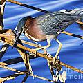 Green Heron by Ronald Lutz