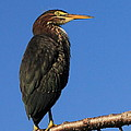 Green Heron Roosts by Scott Rackers