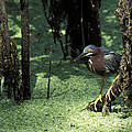 Green Heron by Steven Ralser