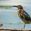 Green Heron Tongue by Cheryl Baxter