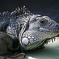 Green Iguana 1 by Ellen Henneke