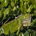 Green Iguana by Brenda Jacobs