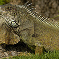 Green Iguana Guayaquil Ecuador by Pete Oxford