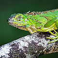 Green Iguana Iguana Iguana, Tarcoles by Panoramic Images