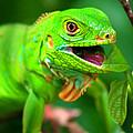 Green Iguana by Kabir Ghafari