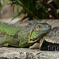 Green Iguana Lizard by DejaVu Designs