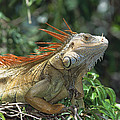 Green Iguana Male Portrait Central by Konrad Wothe