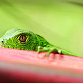 Green Iguana by Rainer Waelder
