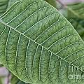 Green Leaf Macro by Antony McAulay