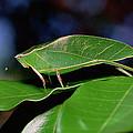 Green Leaf-mimic Katydid Steirodon by Gerry Ellis