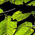 Green Leaves by Karol Livote