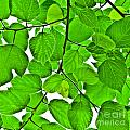 Green Leaves by Kathleen Smith