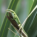 Green Lizard by Christiane Schulze Art And Photography