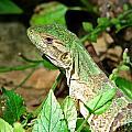 Green Lizard Close-up by Sylvie Bouchard