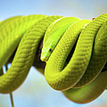 Green Mamba Coiled Up On A Branch by Artur Bogacki