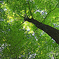 Green Maple Canopy by Barbara McMahon