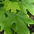 Green Maple Leaves by Nicki Bennett