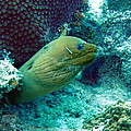 Green Moray Eel With Cleaning Fish by Amy McDaniel