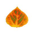 Green Orange Red And Yellow Aspen Leaf 5 by Agustin Goba