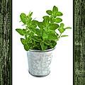 Green Oregano Herb In Small Pot by Elena Elisseeva
