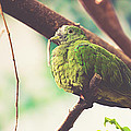 Green Pigeon by Pati Photography