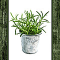 Green Rosemary Herb In Small Pot by Elena Elisseeva