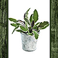 Green Sage Herb In Small Pot by Elena Elisseeva