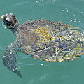 Green Sea Turtle by Bradford Martin